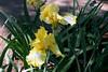 Iris-Arizona Citris-2005-04-11-0001