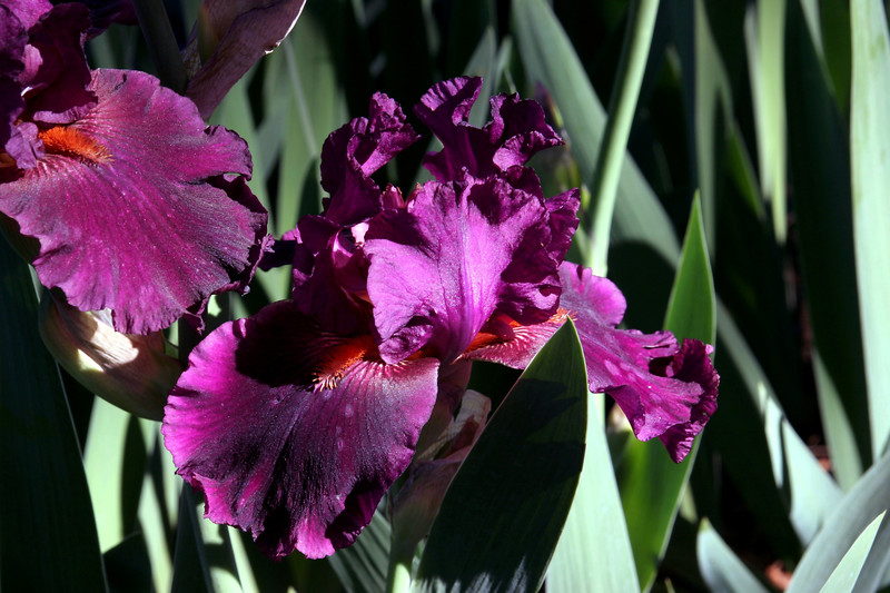 Iris-Cherry Glenn-2005-04-11-0001