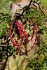 Mesquite-Bean-2009-11-08-0001