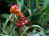 Leopard Lily-2005-06-30-0002