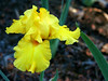 Iris-Pure as Gold-2005-04-11-0001