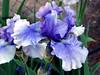 Iris-Eagle's Spirit-2005-04-11-0001
