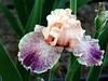 Iris-Peach Royale-2005-04-11-0001
