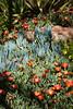 Ice Plant, Croceum-2010-03-28-0003