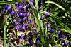 Lily-Flax-[Dianella Tasmania]-2006-09-07-0001