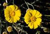 Marigold-Desert-2009-11-08-0002