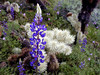 Lupinus-Coulter's-2005-02-21-0001