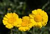Marigold, Desert-2010-03-21-0001