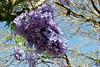 Jacaranda Tree-2006-05-14-0001