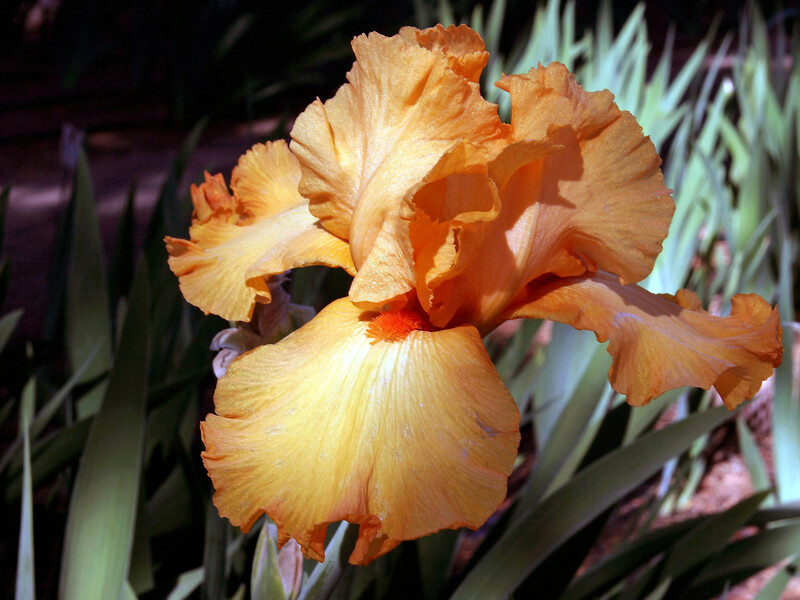 Iris-Avalon Sunset-2005-04-11-0001
