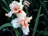Iris-Coral Point-2005-04-11-0001