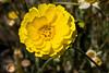 Marigold-Desert-2009-11-08-0001