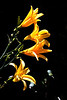 V-DayLily-Golden Wonder-2005-06-29-0001