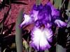 Iris-Jesse's Song-2005-04-11-0001