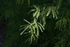 Mesquite Leaves-2008-05-04-0001