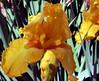 Iris-Well Endowed-2005-04-11-0001