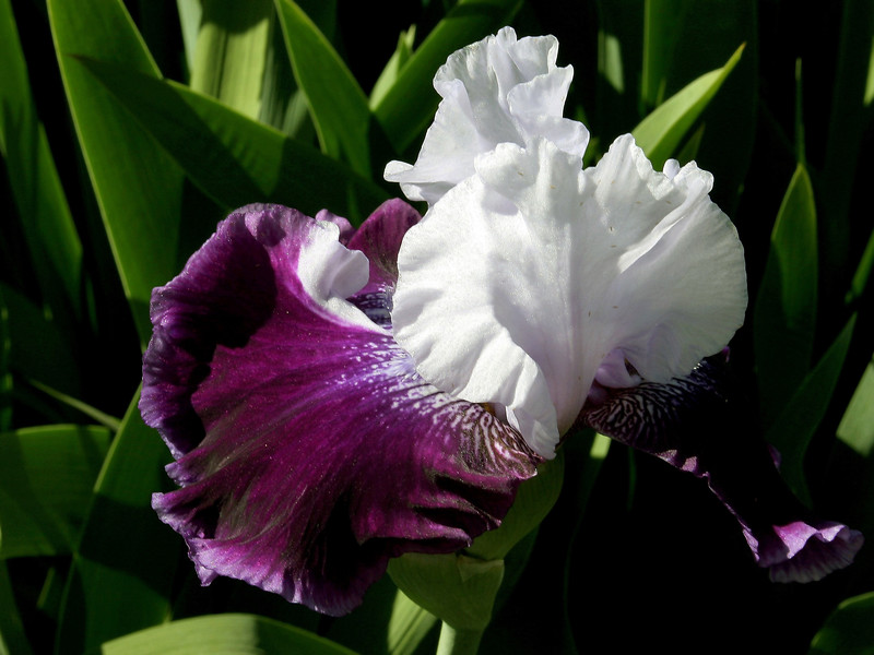Iris-High Class-2005-04-11-0001