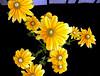 Marigold-2003-08-01-0001