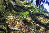 Monkey Puzzle Tree-[Araucaria Araucana]-2006-09-07-0001