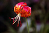 Leopard Lily-2005-06-30-0001