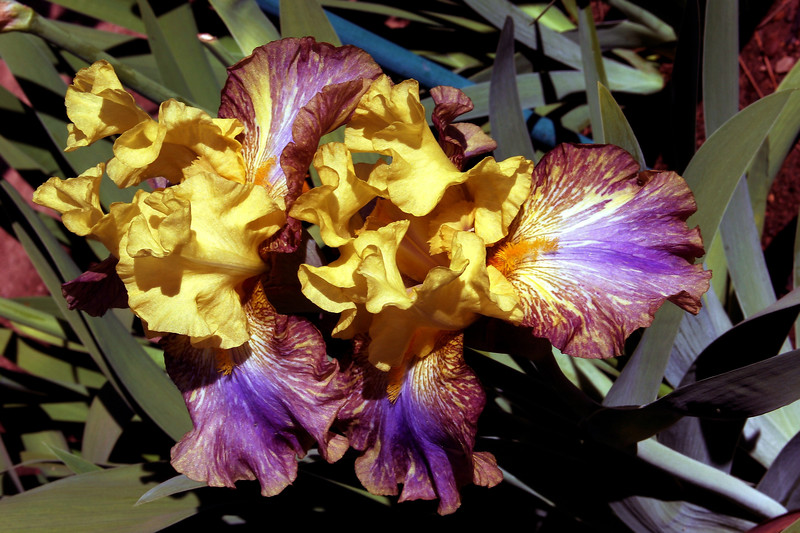 Iris-Gothic Cathedral-2005-04-11-0001