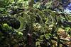 Monkey Puzzle Tree-[Araucaria Araucana]-2006-09-07-0002