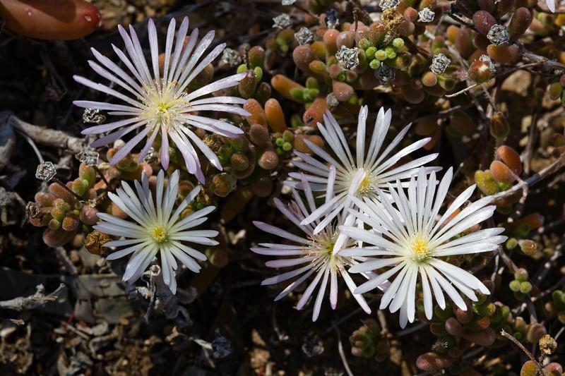 Ice Plant, Croceum-2010-03-28-0001