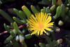 Ice Plant-2008-03-19-0001