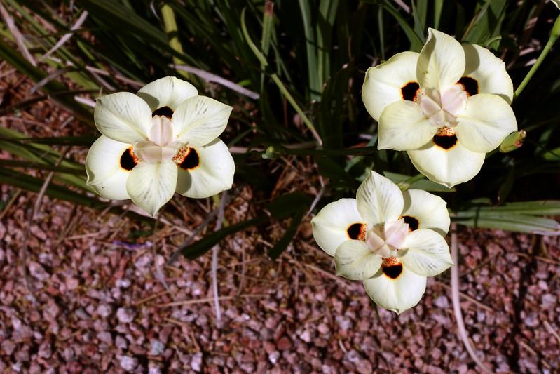 Iris, Spanish [Dietes Bicolor] 2007-04-15-0001