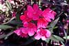 Oleander-Pink Tree-2006-05-14-0001
