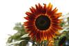 Sunflower-2006-09-14-0004