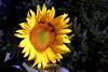 Sunflower-2005-08-23-0002