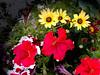 Petunia, Daisy-2003-12-07-0001