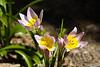 Tulip, Candida-2010-03-28-0001