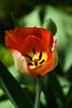 Tulip, Big Chief-2010-03-28-0001