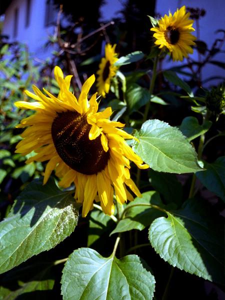 V-Sunflower-1994-12-03-S0001