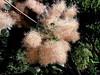 Smoke Tree-2003-08-01-0002