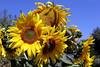 Sunflower-2005-08-24-0002