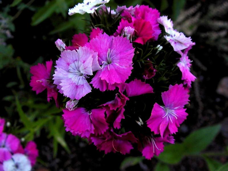 Pinks-2003-07-25-0001