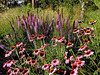 Purple Coneflower-2003-08-01-0001