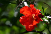 Pomegranate-2007-04-01-0002