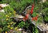 Penstemon-Golden Beard-2007-08-19-0001<br /> [The red orange flower]
