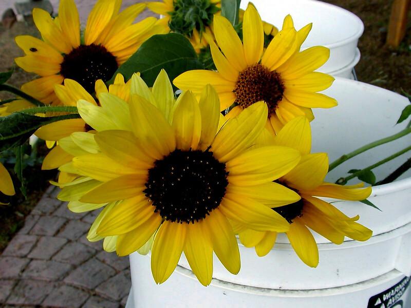 Sunflower-2003-09-05-0001