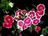 Pinks-2003-12-07-0001
