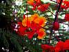 Red Bird of Paradise-2004-05-16-0002