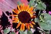Sunflower-2005-07-23-0001