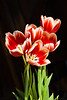 Tulip-Hybrid (Red/White)-2010-02-08-0002
