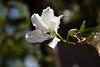 Orchid Tree, Anacacho-2010-04-18-0001