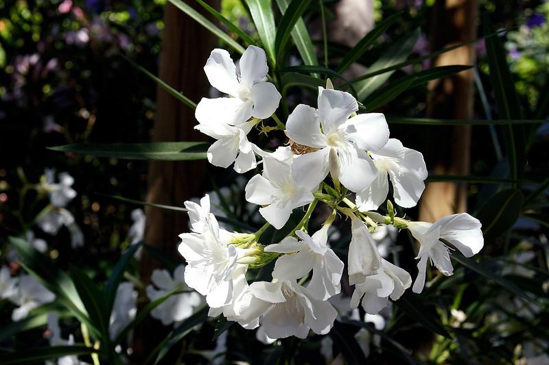 Oleander-White Tree-2006-05-14-0001