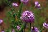 Rocky Mountain Beeplant-2007-09-17-0001